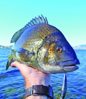 Geilston Bay bream are very fond of a hardbodied lure.