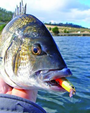 Make sure there are plenty of pauses in your retrieve when fishing hardbodies for bream – the result will often be a well-hooked fish.