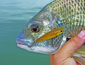 As the water warms in the estuary, bream will be eager to attack surface lures around the oyster racks and flats.