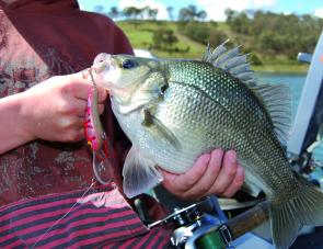 It's a real credit to I & I Fisheries to stick with the bass stocking in Lake Lyell. The results are there for all to see, the fattest bass the author has ever seen. A fishery where bass, rainbow and brown trout are all available is pretty special.