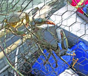 Two just legal mud crabs in a fully enclosed trap. These traps can be left out longer – overnight where legal.