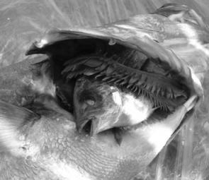 The 30cm luderick became caught in the mulloway's mouth and gills.