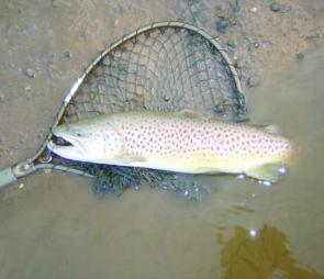 A trout this size will test your gear to its limits so make sure you're prepared.