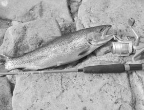 Many nice rainbow trout are being caught at Lake Bellfield.