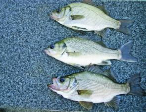 A bass with estuary perch top and bottom. Note the compressed head of the perch.