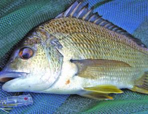 With the influx of prawns and small baitfish, the resident bream are all keen to hit surface lures again.