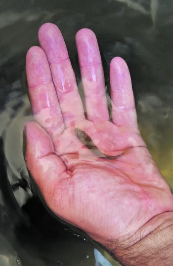 One of the fingerlings released into the river.