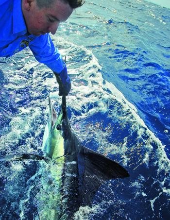 Michael Green pulling up a striped marlin.