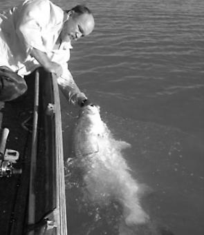 Col Upham controls and revival swims a 111cm barramundi at boatside prior to releasing the big fish. The fish took a shallow trolled 1m RMG prior to the last closed season.