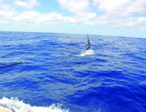 In January black marlin begin to turn up as close as a few 100m off the beach. The key is to find the bait, then you'll find the fish.