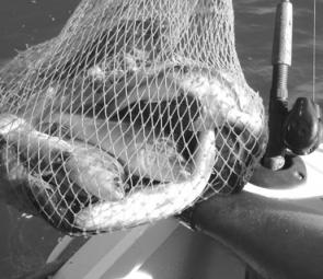 What most anglers are seeing in their keeper nets: A stack of redfin, which isn't doing local waters any harm and providing a great meal.