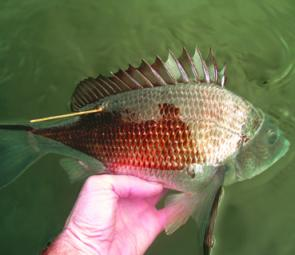 Tagging programs provide evidence that fish like this bream can survive catch and release if handled carefully (image courtesy of Gerard Hawthorne).
