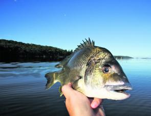 Calm days and warm weather mean the big bream start to feed off the surface. Smaller walk-the-dog lures are the author's favourites