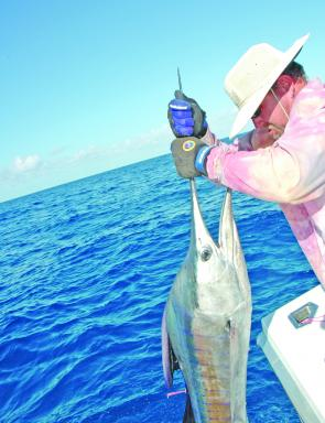 This medium sized 60kg black marlin was found schooled up with micro marlin.