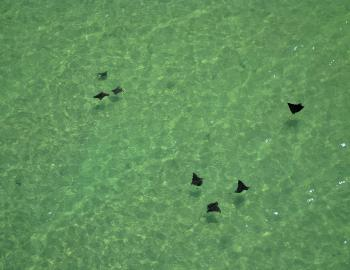 Eagle Rays in the shallows.