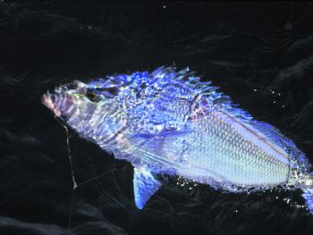 A large blue morwong taken on a prawn dropped down over an inshore reef. Blue morwong are much better on the plate than their red cousins. They hold in schools, so if you get one you'll usually catch more.