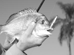 Bream will eat all kinds of soft plastics and hard-bodied lures. This fish ate a stickbait lure.