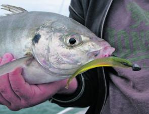 Trevally are a great winter target, just remember to have your drag tuned up because they pull hard.