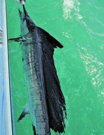 Very hot currents along our coast will we see sailfish once again mixing with the marlin.