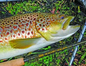 Brown trout are pretty fish and there are plenty of them in New England streams.