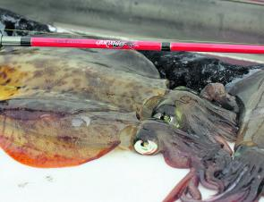 There are plenty of calamari to be caught in Western Port, try the weedy banks.