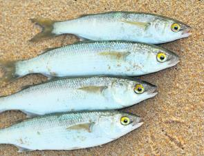 If you hit the beach and find it is calm, use a small size 10 long shank as there are plenty of mullet around.