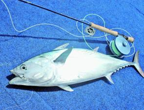There have been many large mac tuna in the 6-9kg range in the bay, but they can be easily spooked and quite difficult to approach.