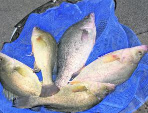 A solid bag of golden perch caught bobbing shrimp.