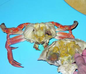 Crab shells and the 'muck' inside them make good berley. Fish and crab cleaning sessions are often a great source of berley. Place the scraps in a bucket and freeze them in your freezer.