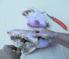 Fish heads also make good berley; they sink and will get down to the bottom in low speed water flow fishing scenarios.