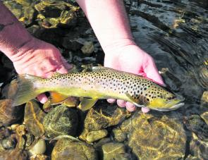 Releasing a beautifully coloured Kiewa River brown trout back in May.