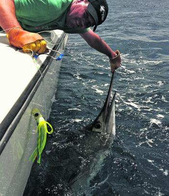 The typical size of the striped marlin caught at the moment – around 80kg.