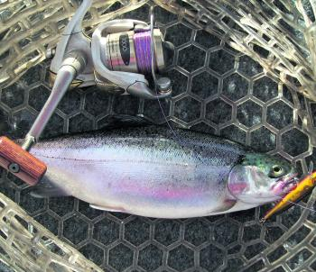 A fat hen rainbow over 1kg taken on a Black Magic B-Max minnow lure from Lake Bullen Merri.
