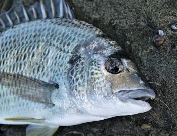 Rock fishing for bream is one of the many productive forms of fishing to try this month. This fish was caught at the Norah Head Lighthouse platform.