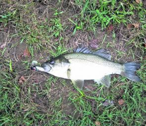 Allyn River bass 40cm that was caught by Scott Everitt from Gresford on a cicada lure at first light of day.