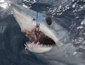 There were plenty of mako sharks tagged and released over the weekend.