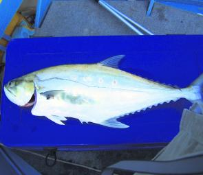 Queenfish like the 97cm specimen are a possible by-catch when chasing local jacks.