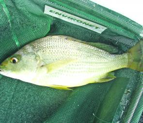 Although they're a common catch north of the Tweed, javelin fish or grunter turn up in the Clarence on occasion.