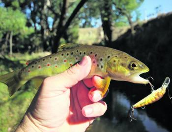 A small brown trout caught recently in a tiny tributary of the Ovens River.