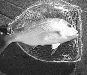 The snapper are still biting in the Bay and the river. Look for new areas to make the best catches.