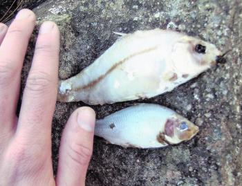 Partially digested carp and redfin retrieved from the stomach of a Murray cod. This food exists in abundance in many Australian waterways, but the carp may be at risk if the koi herpes virus suggested for release as a biological control agent is successfu