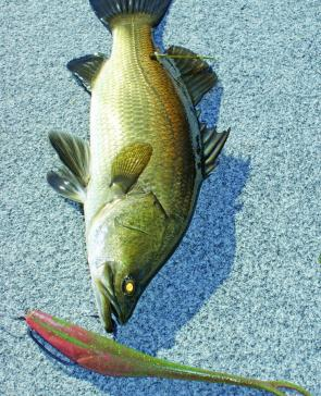 Weedless lures look so realistic and tasty they fool even the smallest barra. This Jerk Shad is over half the length of the barra.