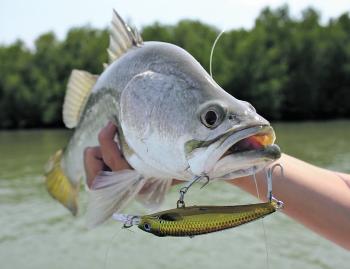 A neat little barra that was taken on a Rapala X-Rap minnow.