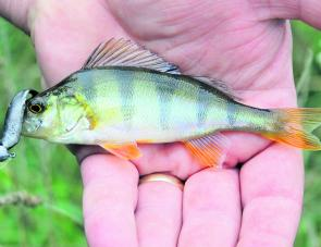 Tiny redfin are a reasonably common by-catch in the Kiewa River for anglers targeting trout.