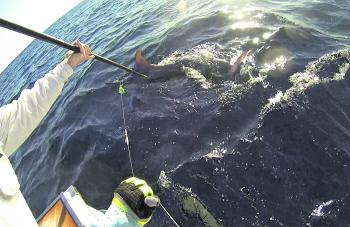 A GoPro angle of Maddison McGinty's striped marlin about to be tagged. Seconds later the hooks pulled.