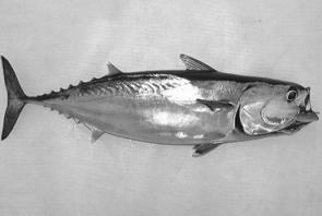 Frigate mackerel are heaps of fun to catch on light tackle and are superb live bait for offshore predators and excellent in fillets or strips for a whole host of species.