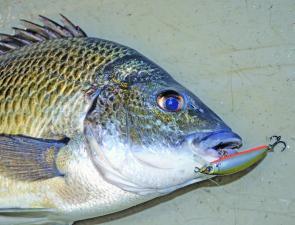 With estuary water temperatures rising, bream will be easier to tempt with small surface lures. If they're proving a bit difficult, revert to a shallow-diving lure like a Maria jerkbait. They're proven winners on bream.