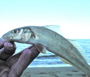 Decent-sized whiting taken on some prawn a few metres from the bank.