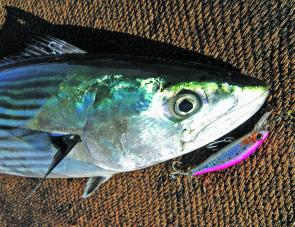 At this time of year many inshore and rock fishos will be looking forward to spinning up a heap of hard-fighting bonito.