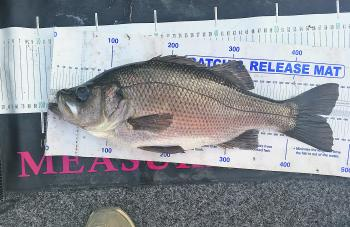 Most catches of estuary perch have been coming from Big Island to the Batemans Bay Bridge.